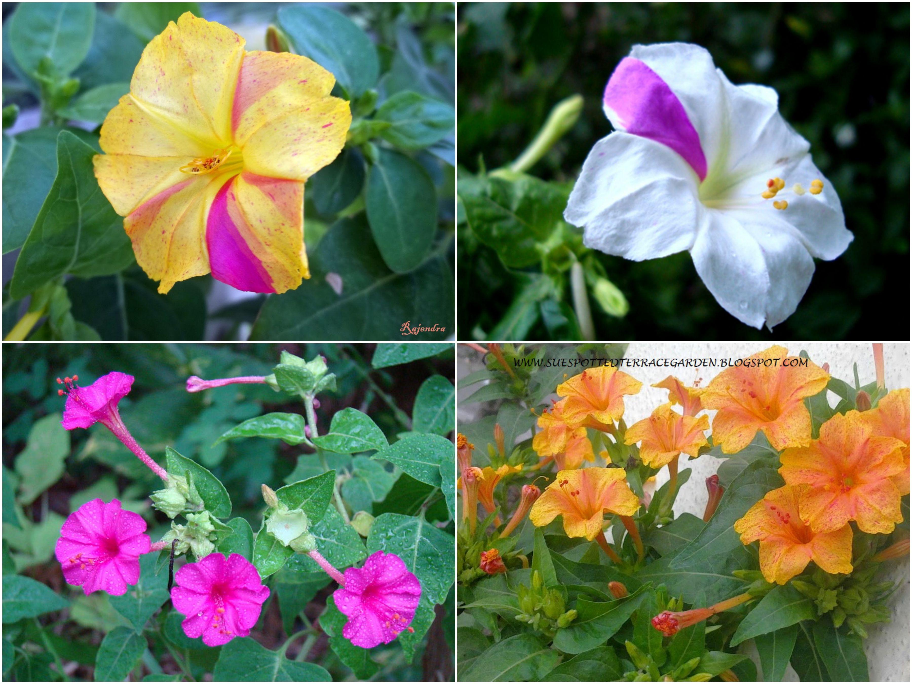 Sandhya Malati Flower সন ধ য ম লত ফ ল Four O Clock Beauty Of The Night Marvel Of Peru Pretty Flowers Flower Art Plants
