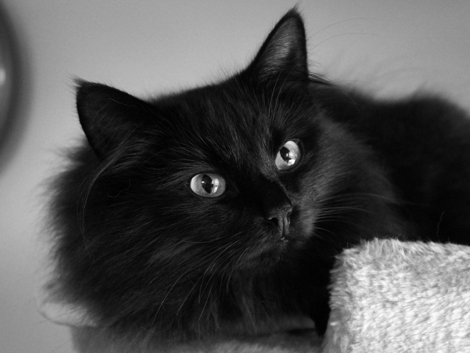 Beautiful Black Cats Beautiful fluffy black cat