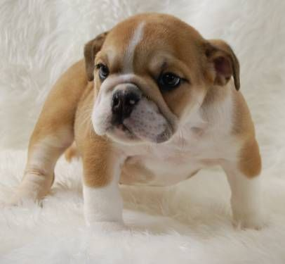 English Bulldog Puppies New Litter 1 Girl Left English