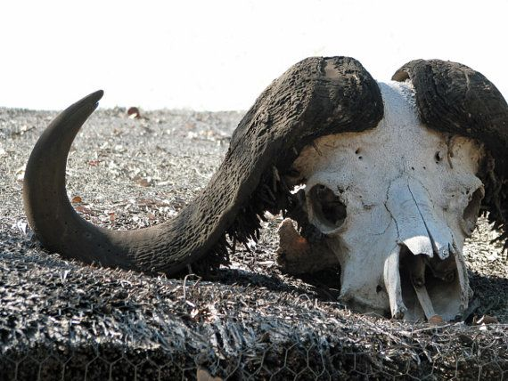 Buffalo Skull Digital JPG Download by AfricanGranny on Etsy