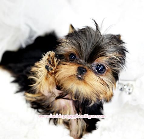 Sweetie Micro Female Yorkie She Is 4 1 2 Months Old Her Price Is