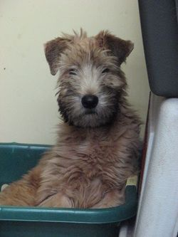 Keepsake Soft Coated Wheaten Terrier Puppies Are Sold To Companion Homes Only On Strict Spay Neuter Contracts And Limited Registration