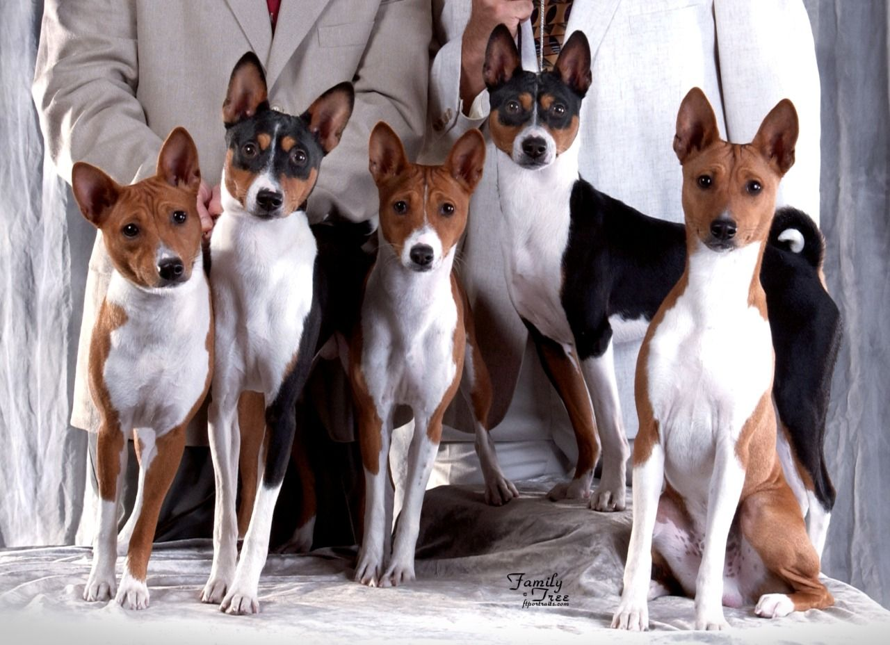 Basenji lovers unite family portrait doggy boston