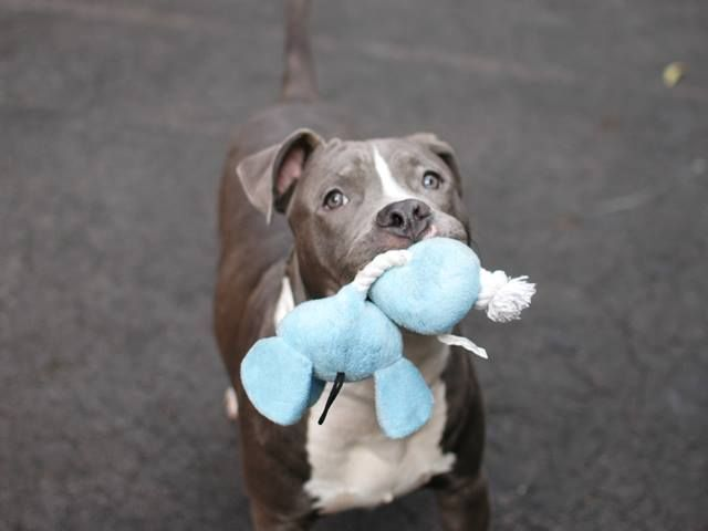 Safe Urgent Manhattan Center Rugby A0984373 Main Thread Https Www Facebook Com Photo Php Fbid 703987456280803 With Images Animal Rescue Your Pet Rescue Dogs