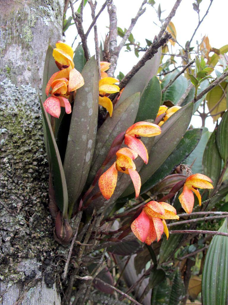 Maxillaria sp in situ na floresta tropical na Colômbia - Flickr - Compartilhamento de fotos!