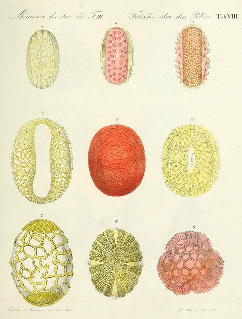 Illustrations of various strains of pollen in extreme magnification, as featured in Ueber den Pollen (1837), a book by German pharmacist and chemist Carl Julius Fritzsche.