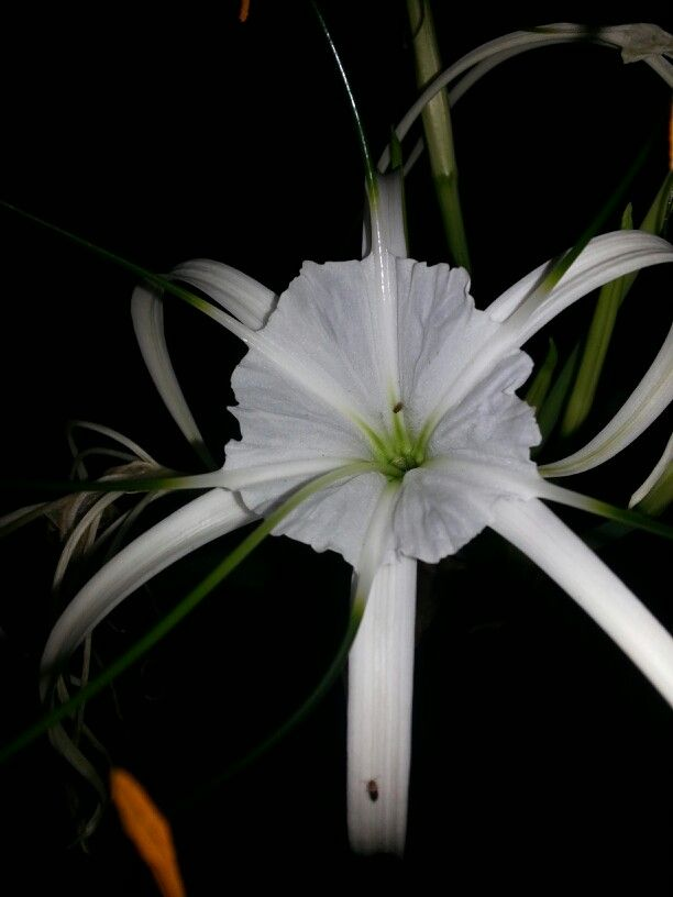 Our spider lily♥