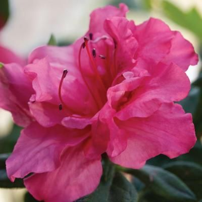 Encore Azalea 1 Gal Autumn Rouge Pink Re Blooming Compact Evergreen Shrub 80531 The Home Depot Azalea Shrub Reblooming Flowers Evergreen Shrubs