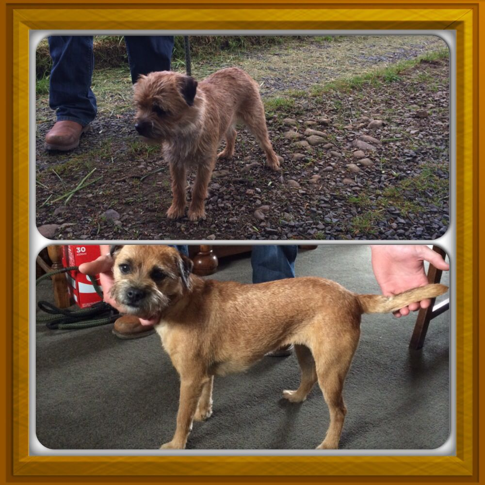 Nell My Border Terrier Before And After Being Stripped Border