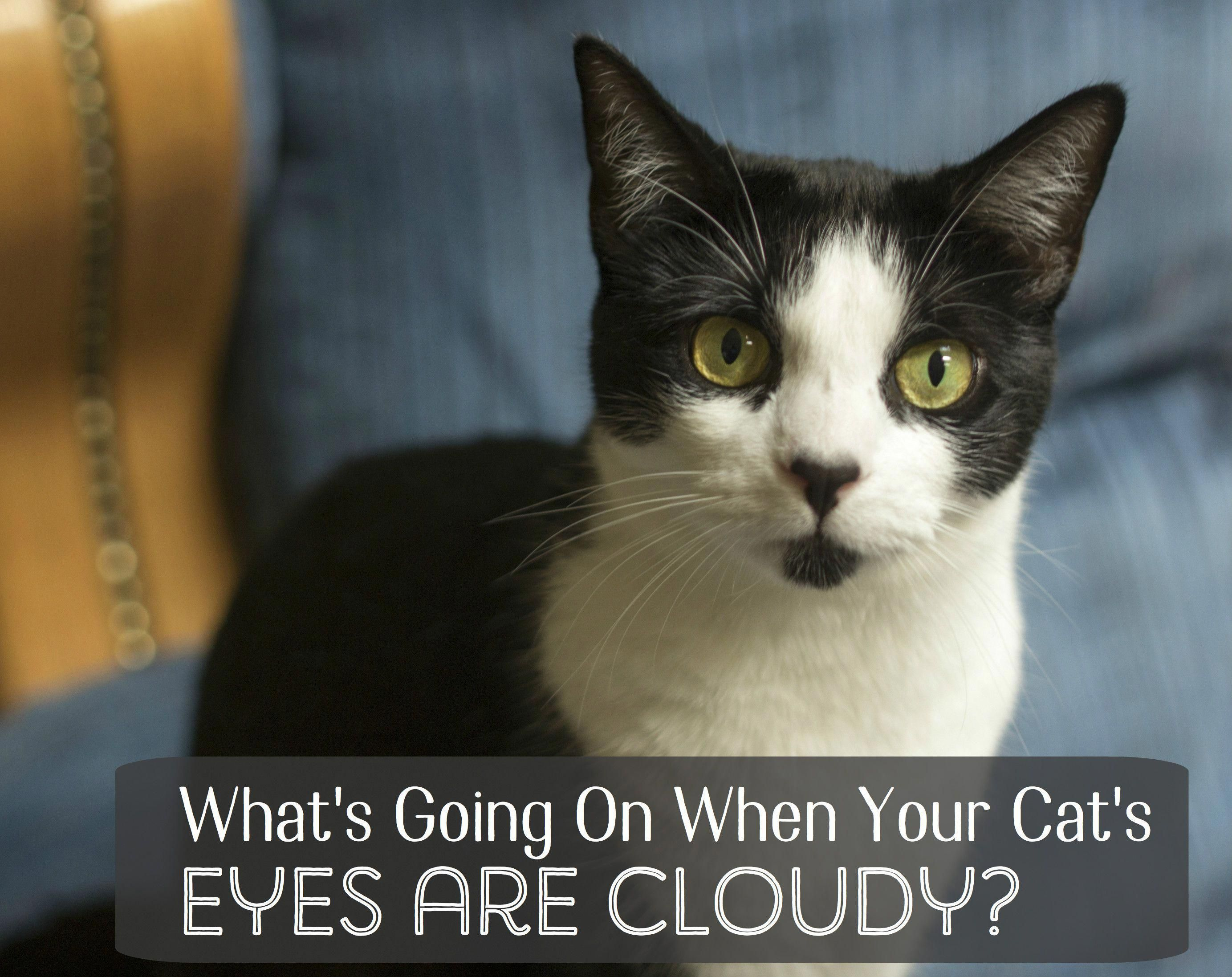 What Causes Cloudy Eyes in Cats? catfacts Cat facts