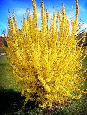 Forsythia yellow flower plant golden bell garden tree bush shrub beautiful yellow bell flowers attractive in gardens forms a tree filled with small yellow flowers make your garden look and feel like a j mightylinksfo