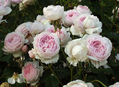 Royalty Free Roses - Google Search