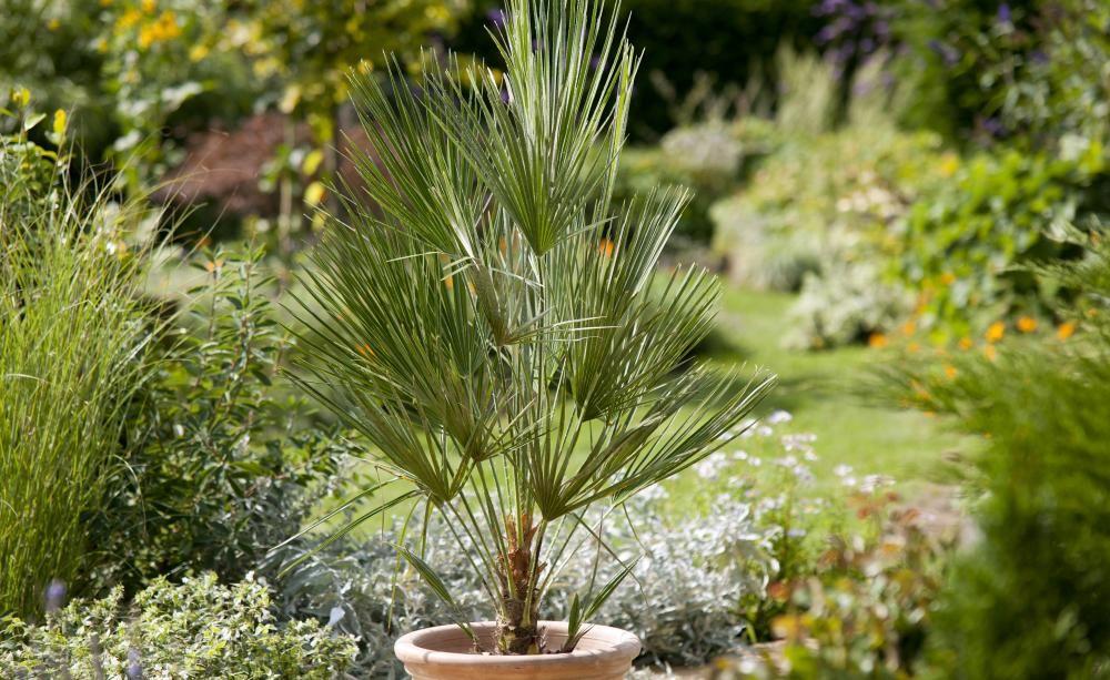 So Topfen Sie Palmen Erfolgreich Um Palmen Garten Palme Umtopfen Palmen