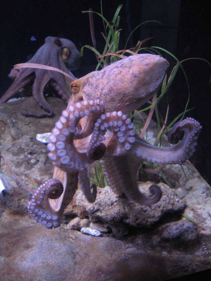 Octopus Facts Habitat, Behavior, Diet Octopus, Octopus