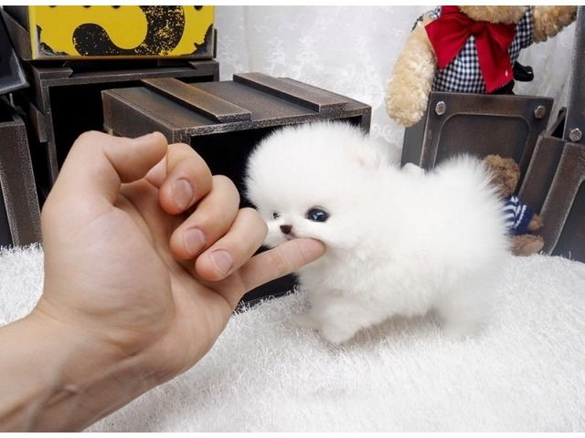 Most Tiny Pomeranian Puppies Now Available Animals Announcement Pomeranian Puppy For Sale Pomeranian Puppy Puppies For Sale