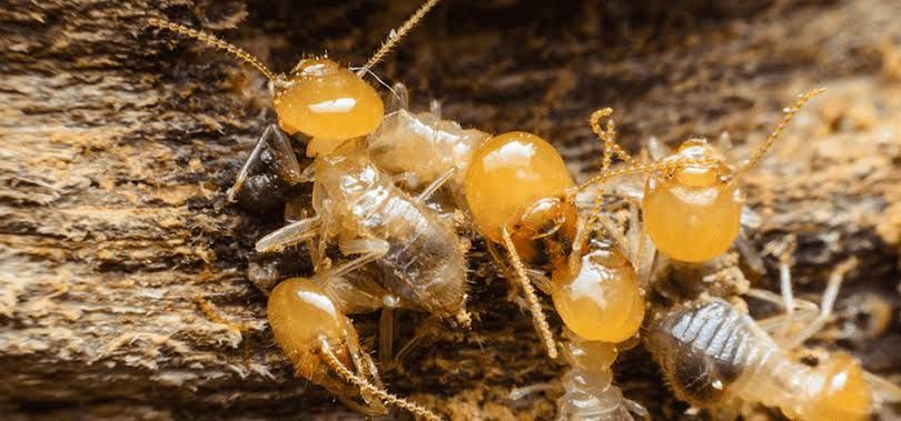 Pin By Safeer Hussain On Pest Control Services Termite Control Termites Termite Problem