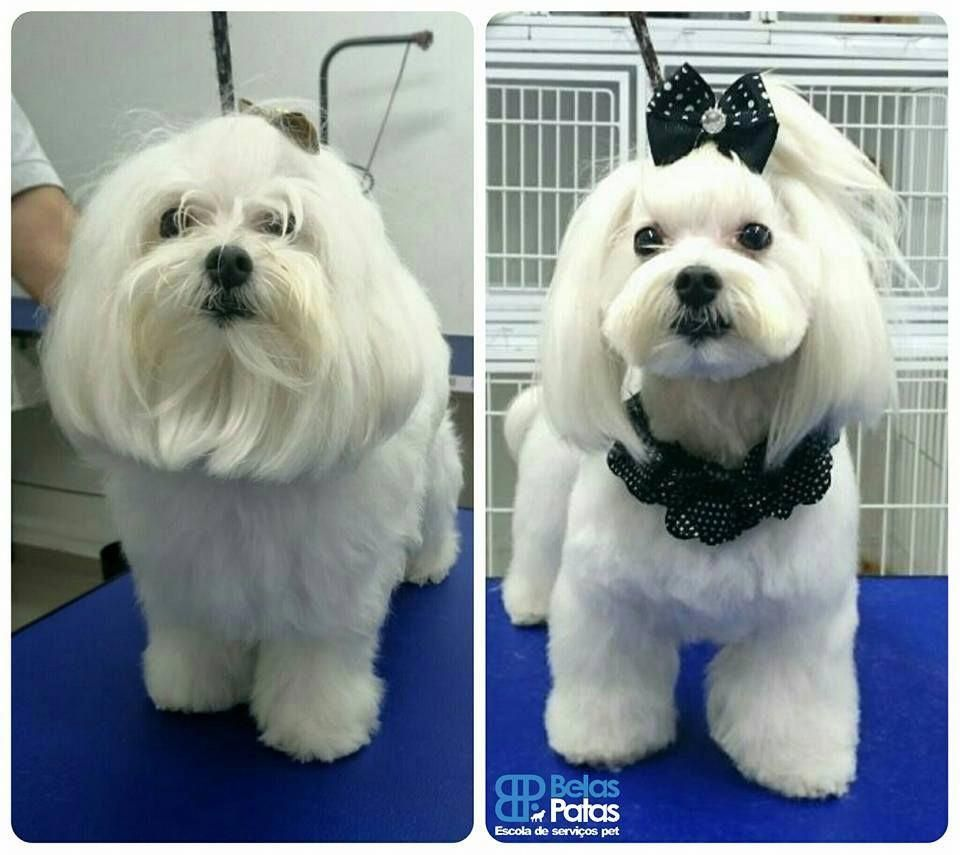 Repinned Maltese Grooming Before And After Dog Grooming Styles Maltese Dogs Maltese Dogs Haircuts