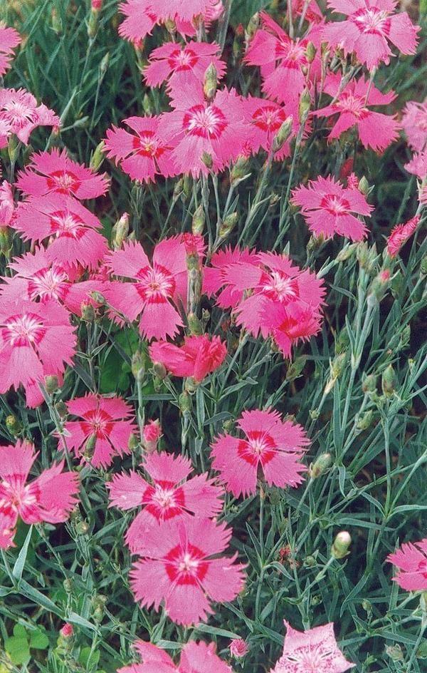 Dianthus Flavora Rose Shades New Flowers Pinterest Fleur