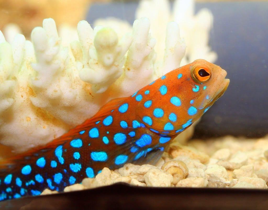 Blue Spot Jawfish Marine Fish Tanks Sea Aquarium Fish