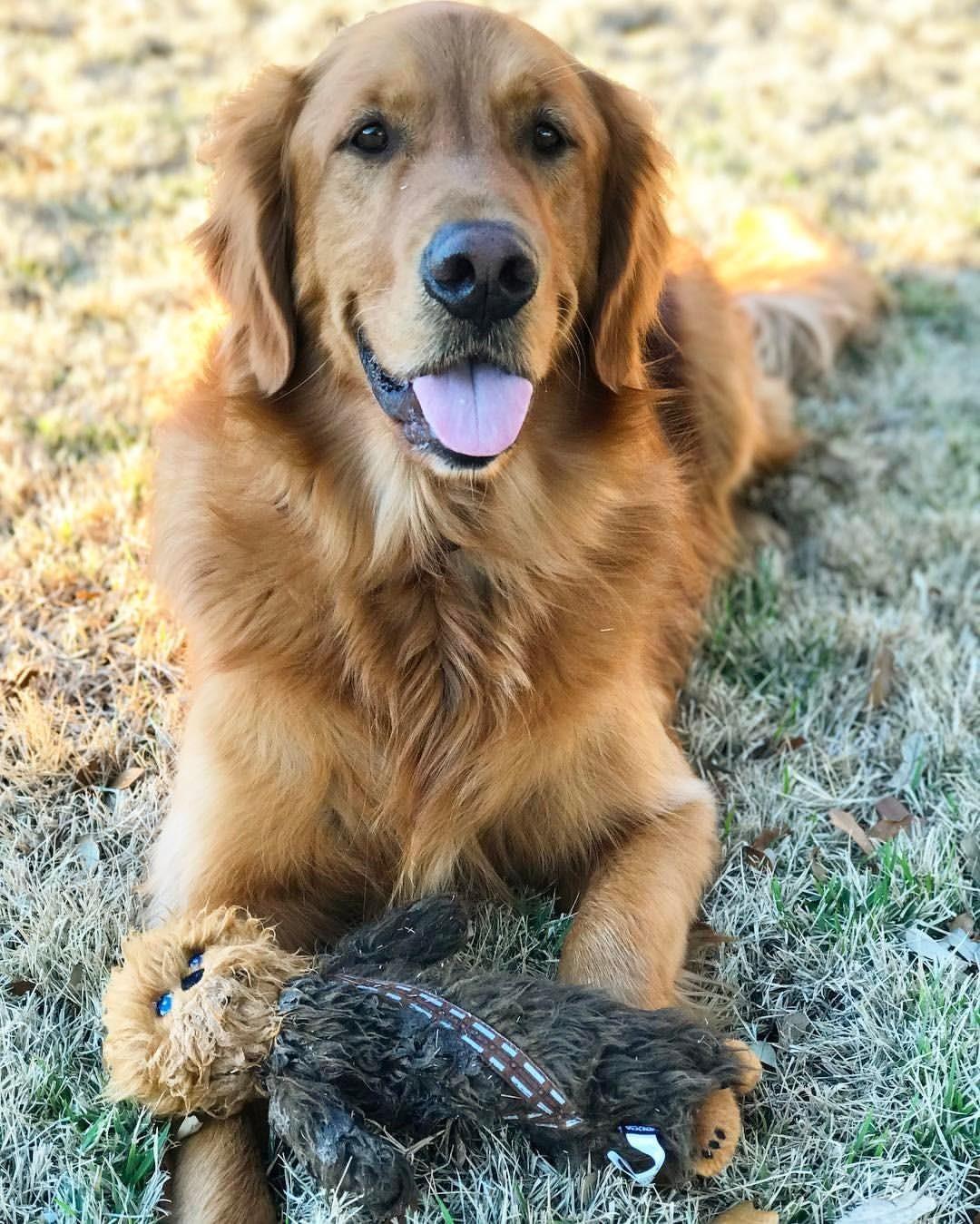Golden retriever Dogs golden retriever, Silly dogs, Dogs