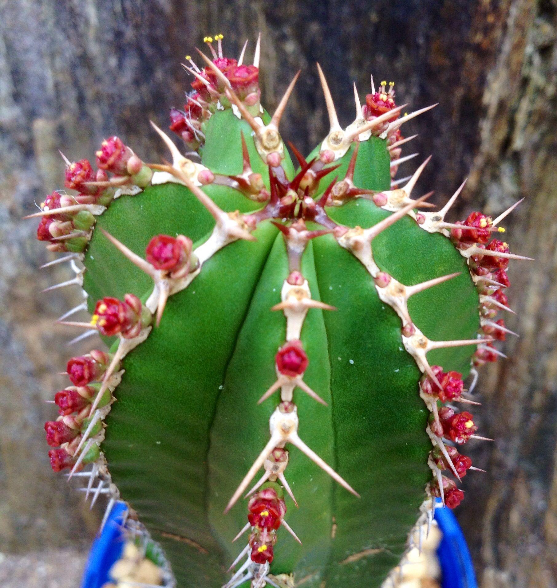 euphorbia echinus cactus 74 pinterest cactus plantes et jardins. Black Bedroom Furniture Sets. Home Design Ideas