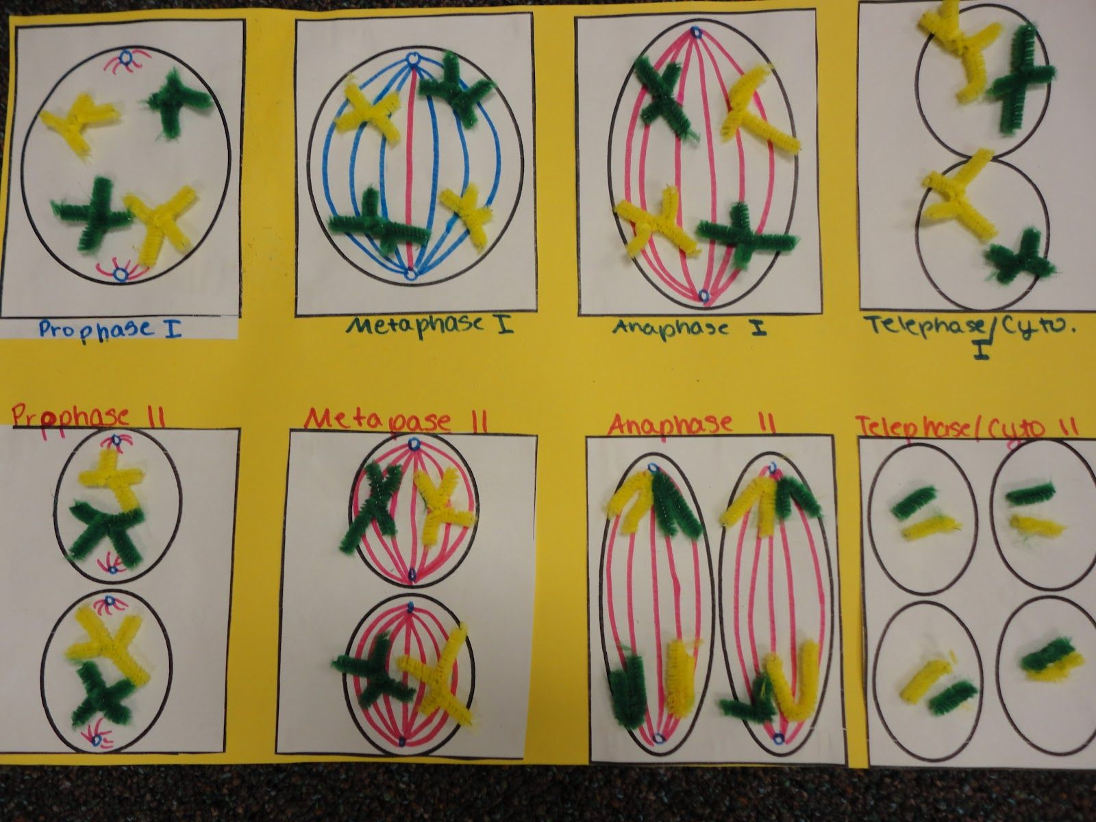 Meiosis Model Project Still Here Kids Crafts Pinterest Pics Photos 3d Plant Cell Diagram With Labels