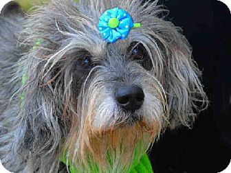 Louisville Ky Standard Schnauzer Meet London A Dog For Adoption Kitten Adoption Dog Adoption Pets