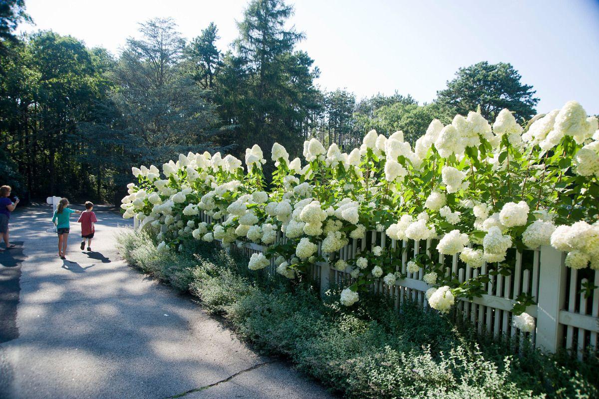 Heritage Museums Gardens Gardens Planting Hydrangeas Limelight Hydrangea Plants