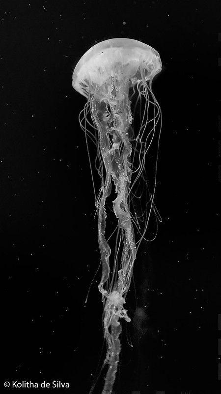 Jellyfish | Sea Nettle Jellyfish (Chrysaora quinquecirrha) | Kolitha de Silva | Flickr