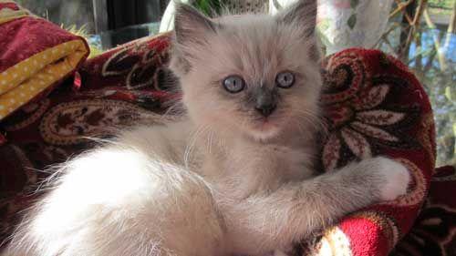Ragdoll Kittens For Sale Houston Texas Cats Ragdolls Kitten For Sale Ragdoll Cats For Sale Kittens