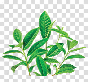 Green Tea Organic Food Masala Chai Decaffeination Green Tea Transparent Background Png Clipart Green Tea Coffee Mighty Leaf Tea Flower Tea