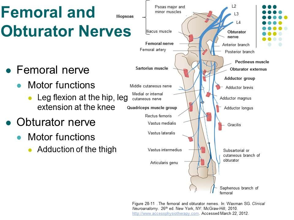 femoral nerve coverage – hd-m, Muscles