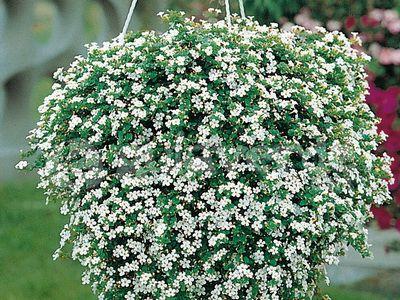 Цветы бакопа купить 12