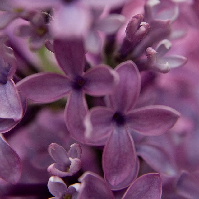 Return Of The Lilacs Flower Meanings Lilac Flowers Flowers