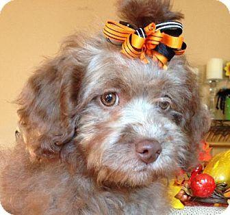 Wheaton Il Dachshund Poodle Miniature Mix Meet Daffodil Arf