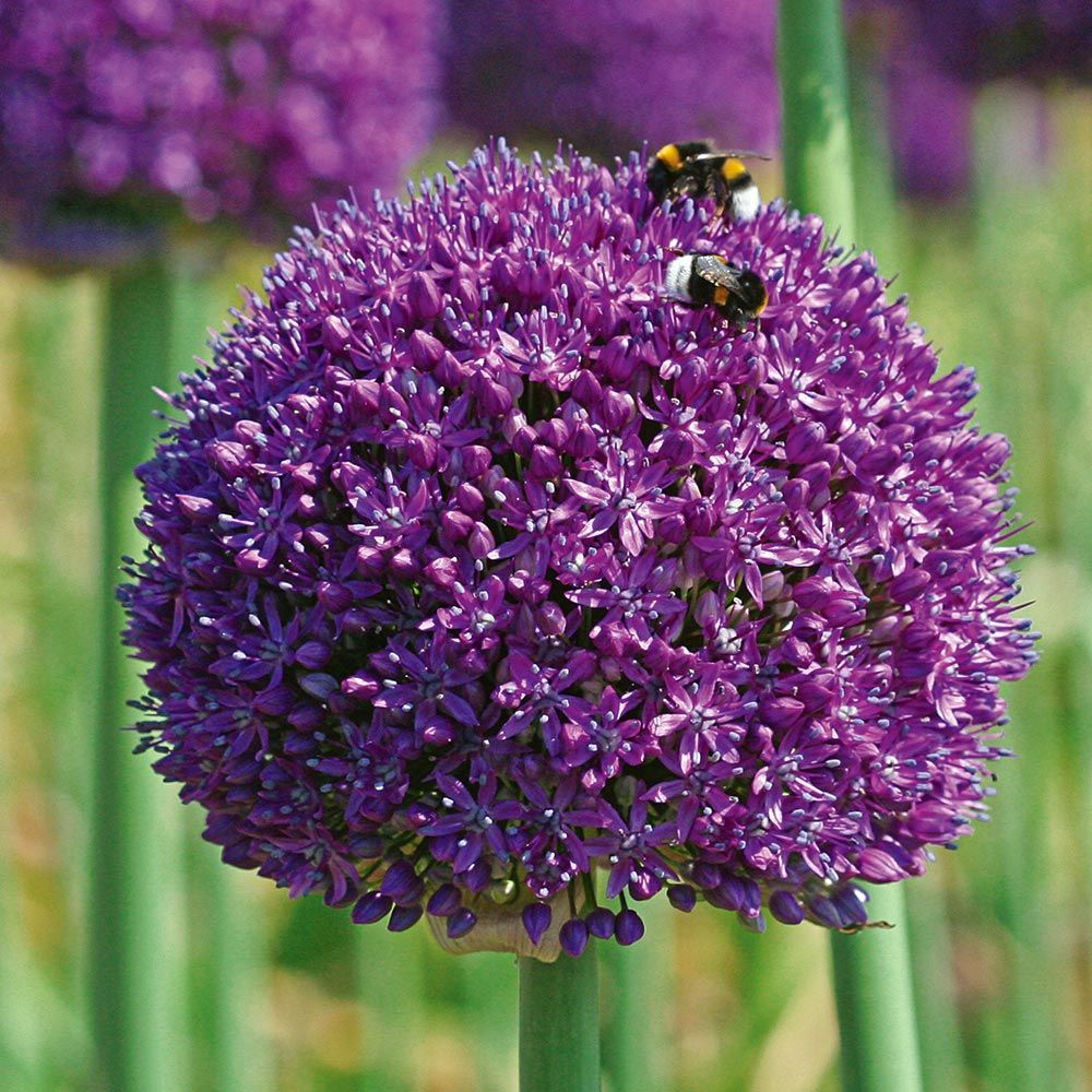 Allium Ambassador Allium Flowers White Flower Farm Deer Resistant Garden
