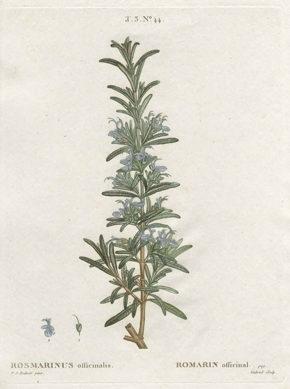 botanical print of rosemary | Herbs | Herbs illustration, Vintage