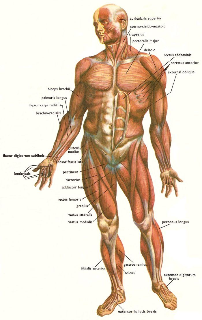 Human Muscular System Human Muscles Anatomy Pinterest