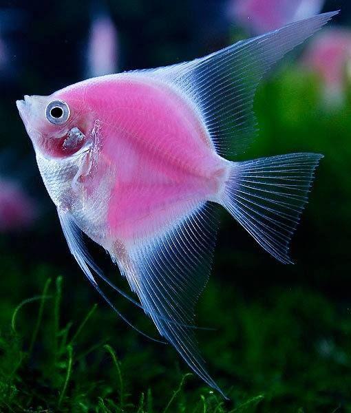 world's first-ever fluorescent pink angelfish