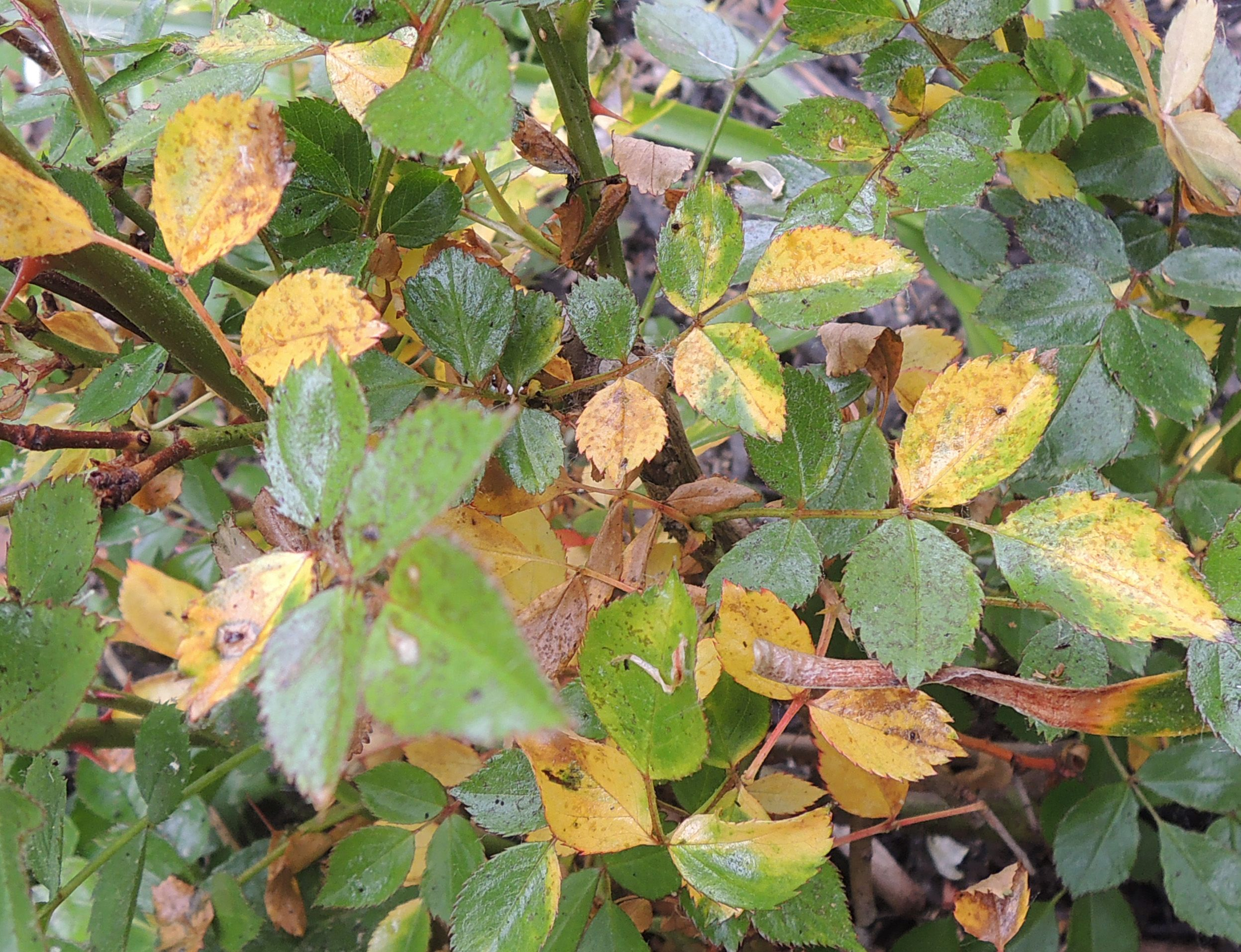 Reasons For Rose Leaves Turning Yellow Yellow Leaves On