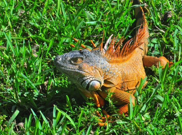 Iguana is a genus of lizard native to tropical areas of Central and South America and the Caribbean.