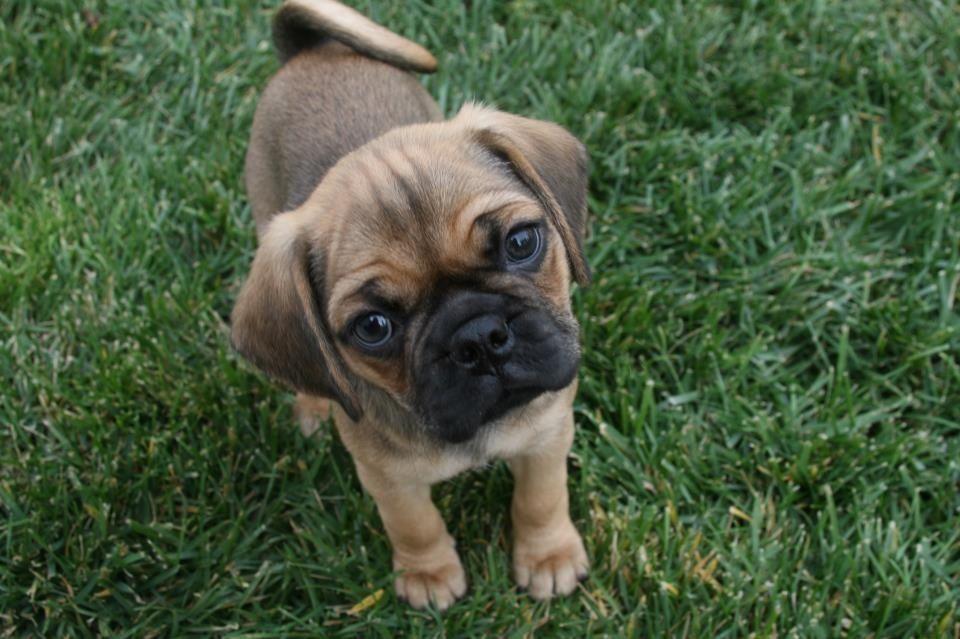Baby Puggle Puggles Pinterest