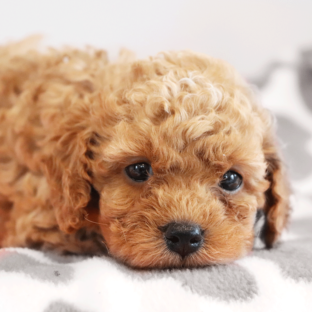 Red cockapoo puppy for sale? Doesn't get any better than