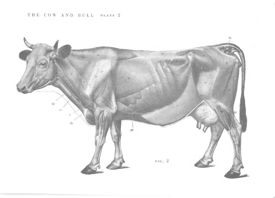 Cow - muscles | Anatomie | Pinterest | Anatomy for artists, Muscle ...