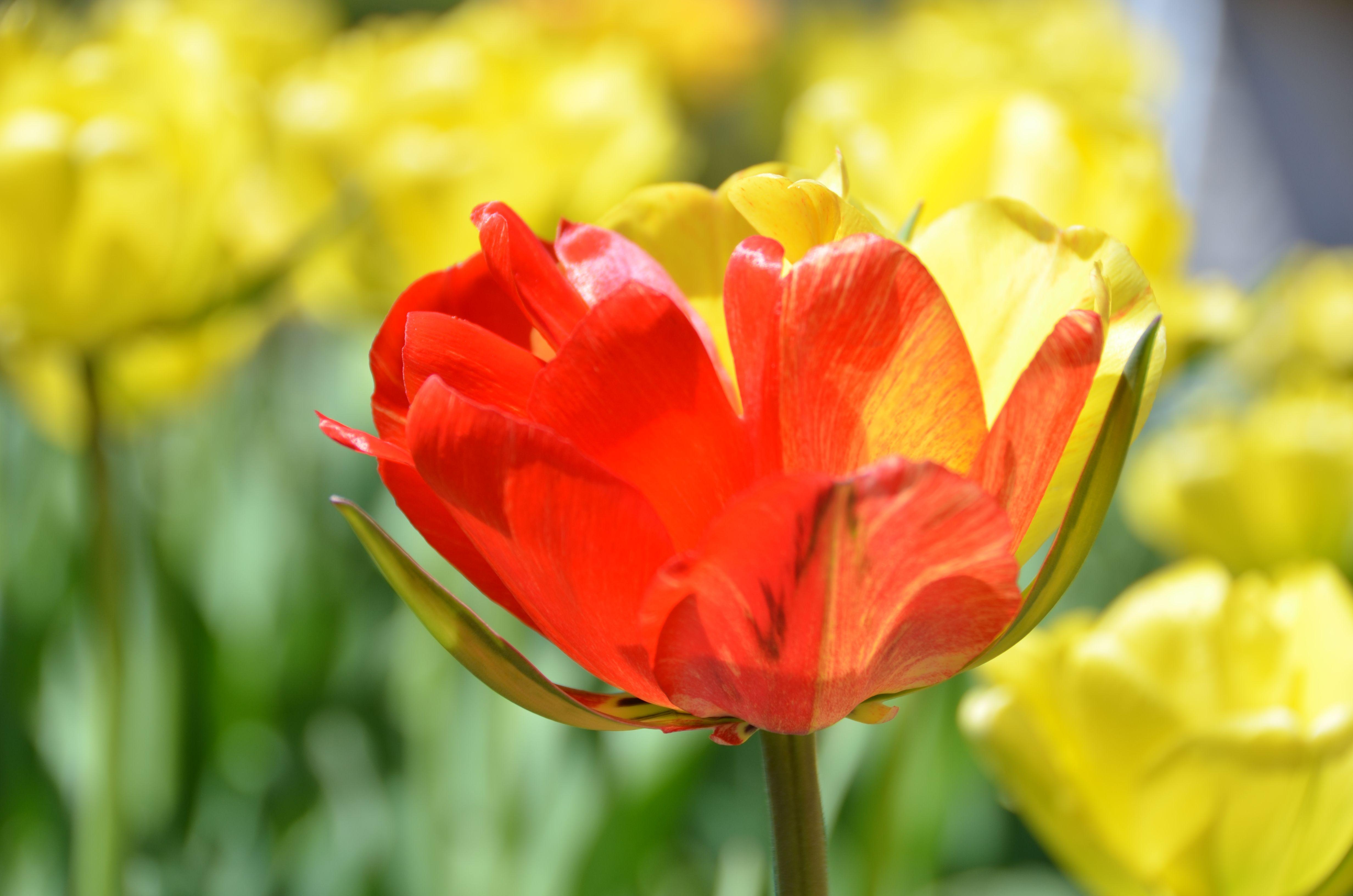 Bi Color Tuplia Akebono Double Late Tulip At Coastal Maine Botanical Gardens Botanical Gardens Tulips Botanical