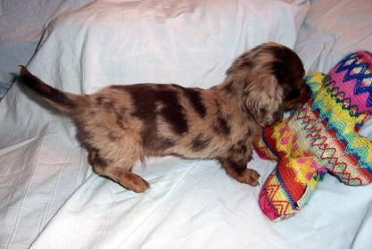 Chocolate And Tan Long Haired Dapple Dachshund With Images