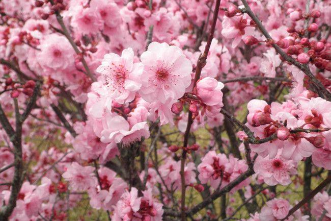 Spring Flowers Image 3 Cerejeira