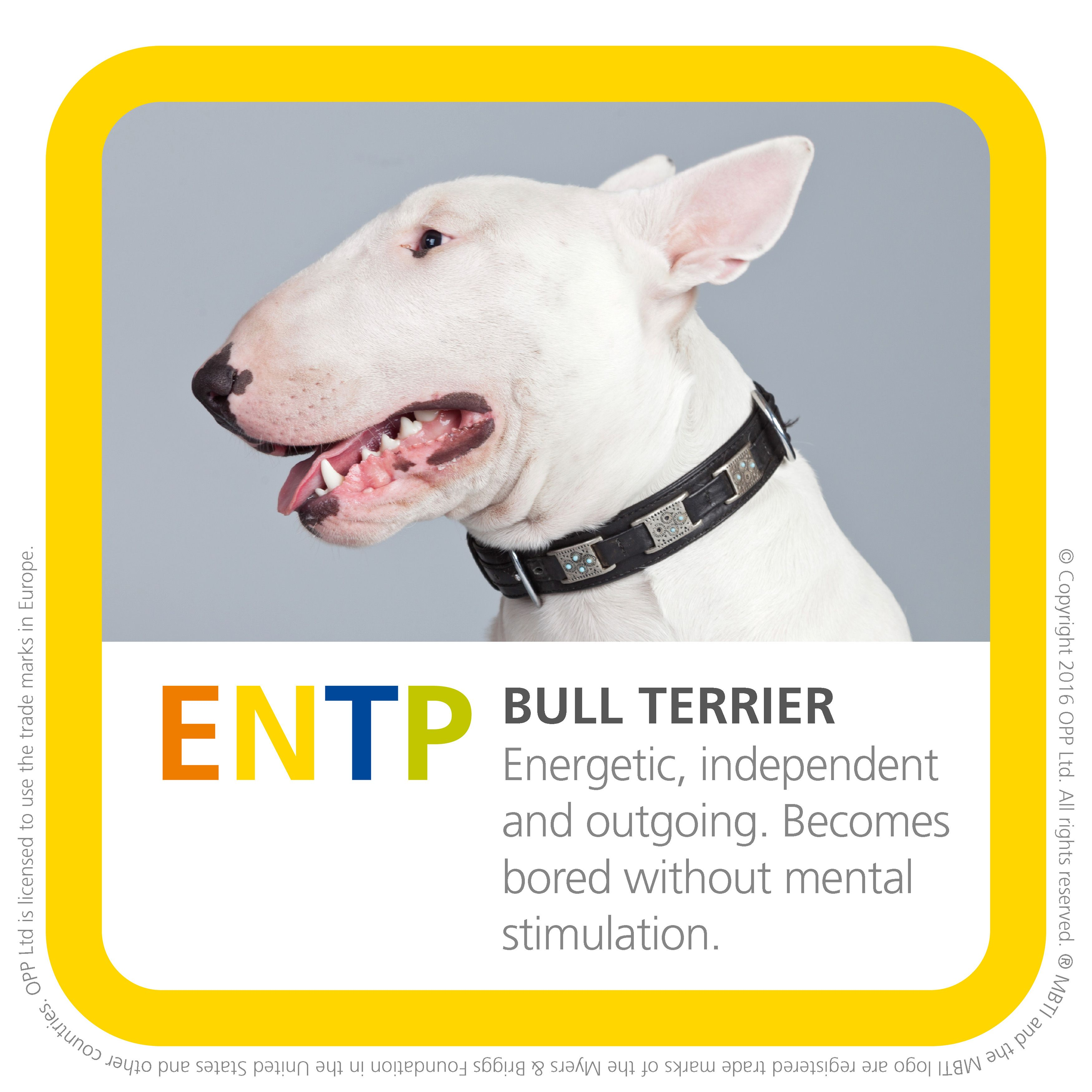 ENTP bull terrier. One of my favorite breeds! Entp