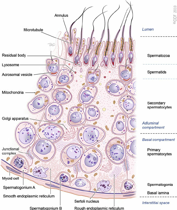 Spermatogenesis an overview reproductive system pinterest spermatogenesis an overview ccuart Choice Image