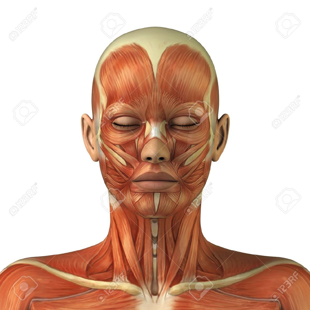 9609301 body without skin anterior view stock photo anatomy muscles 9609301 body without skin anterior view stock photo ccuart Images